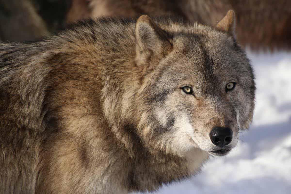 オオカミの森