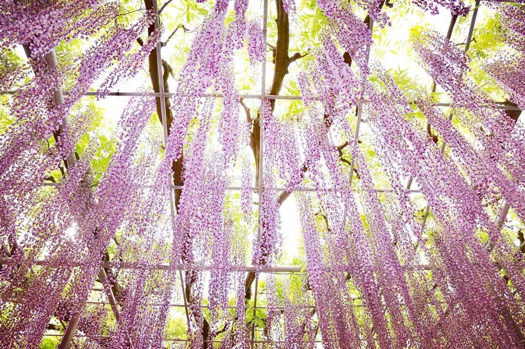 紫が降り注ぐ藤の花