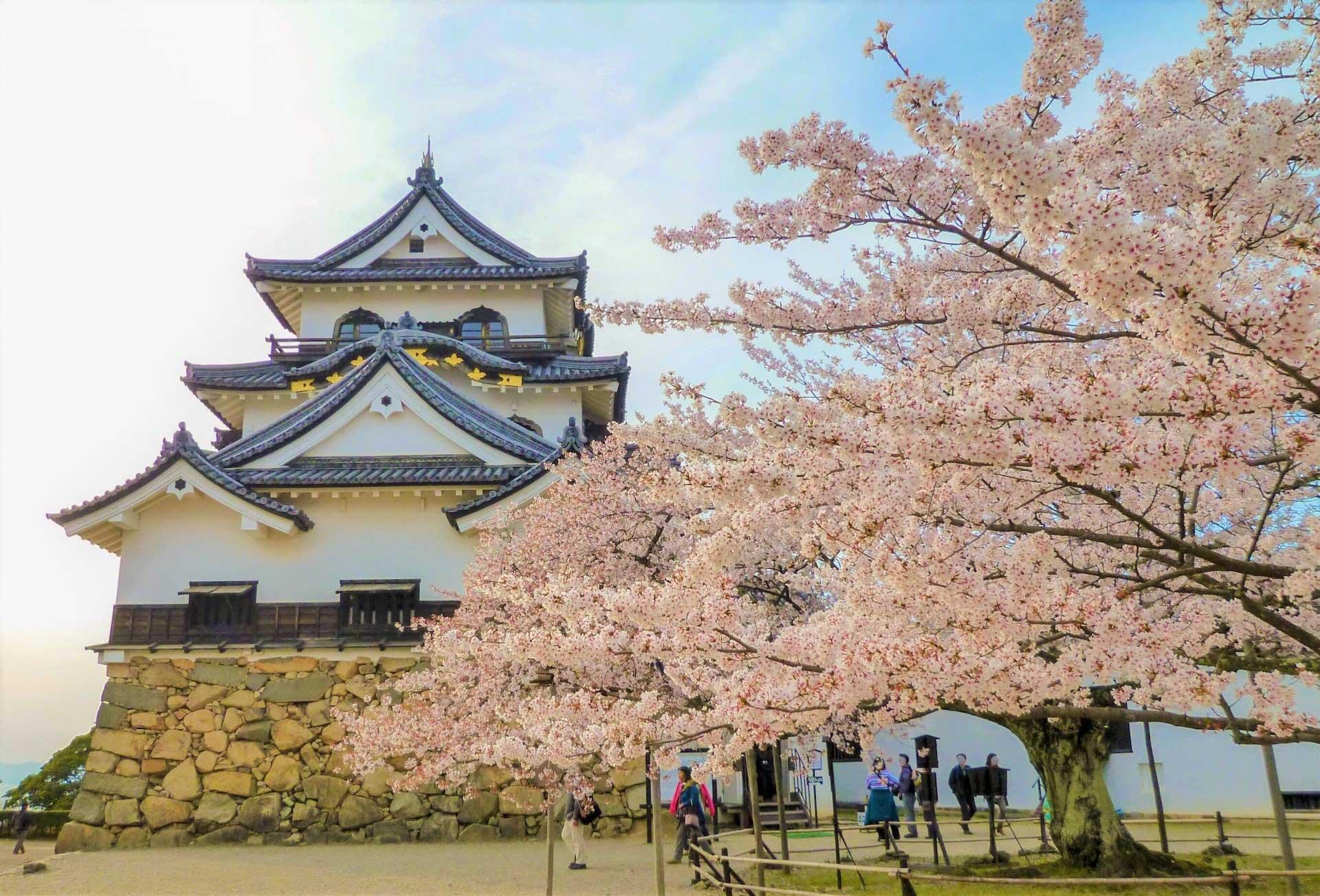 桜舞う春の彦根城