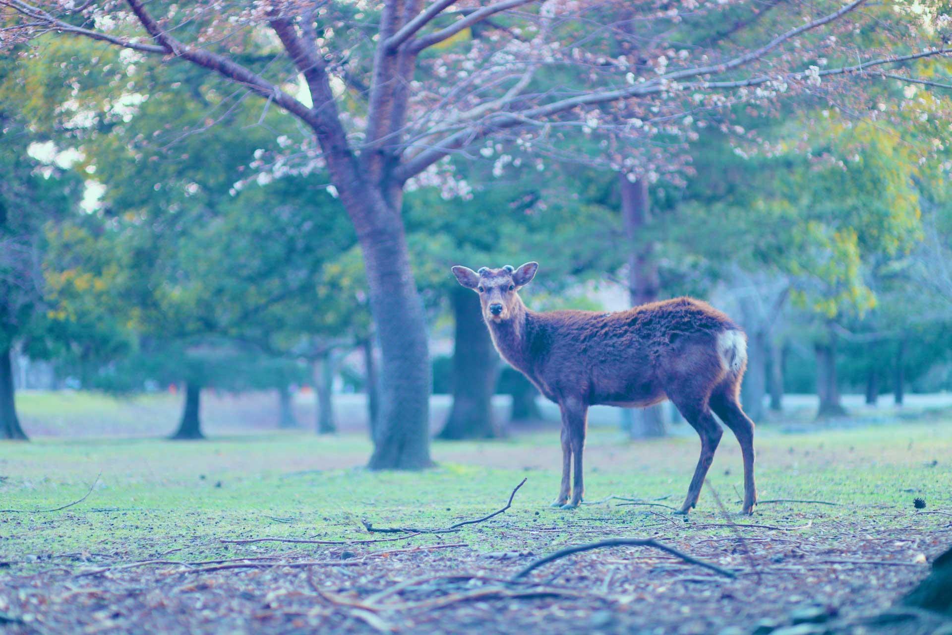 どことなく神々しい雰囲気を纏っている鹿も