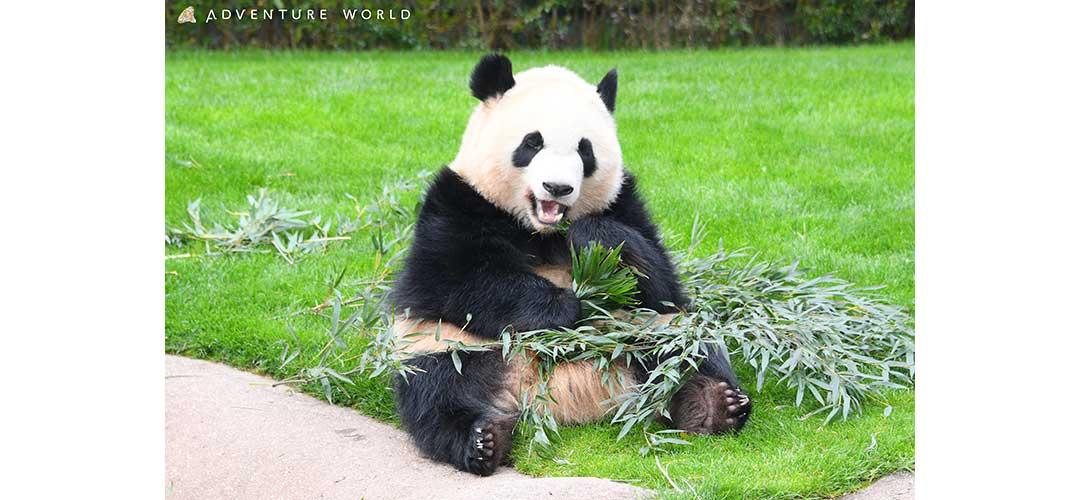 食事中のパンダ