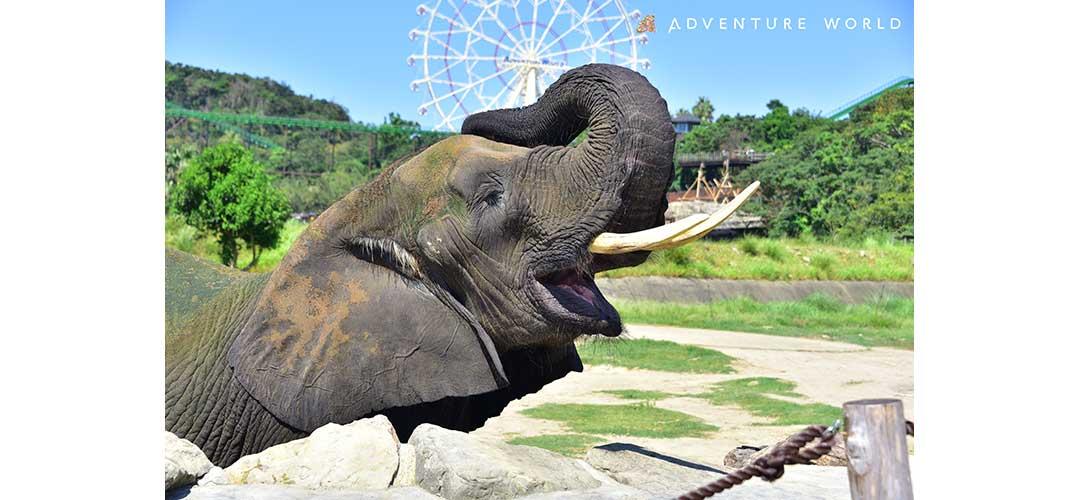 大きなアフリカゾウ