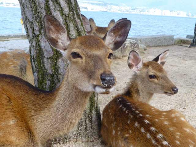 宮島の鹿たち