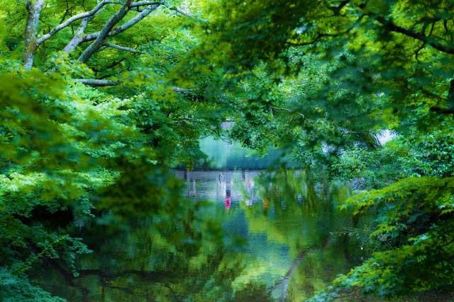 新緑の緑が水面に映えます