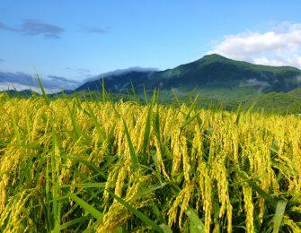 豊かに実る稲穂と国上山