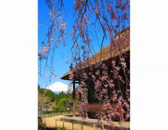 春の枝垂れ桜