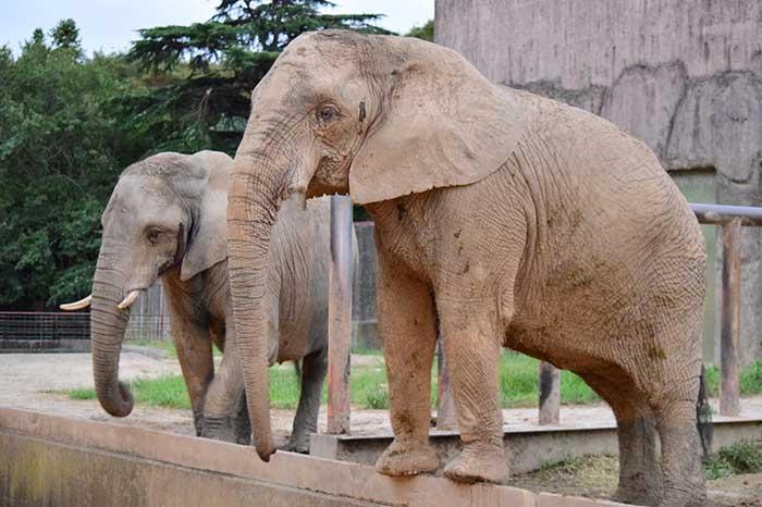 大きい!アフリカゾウ