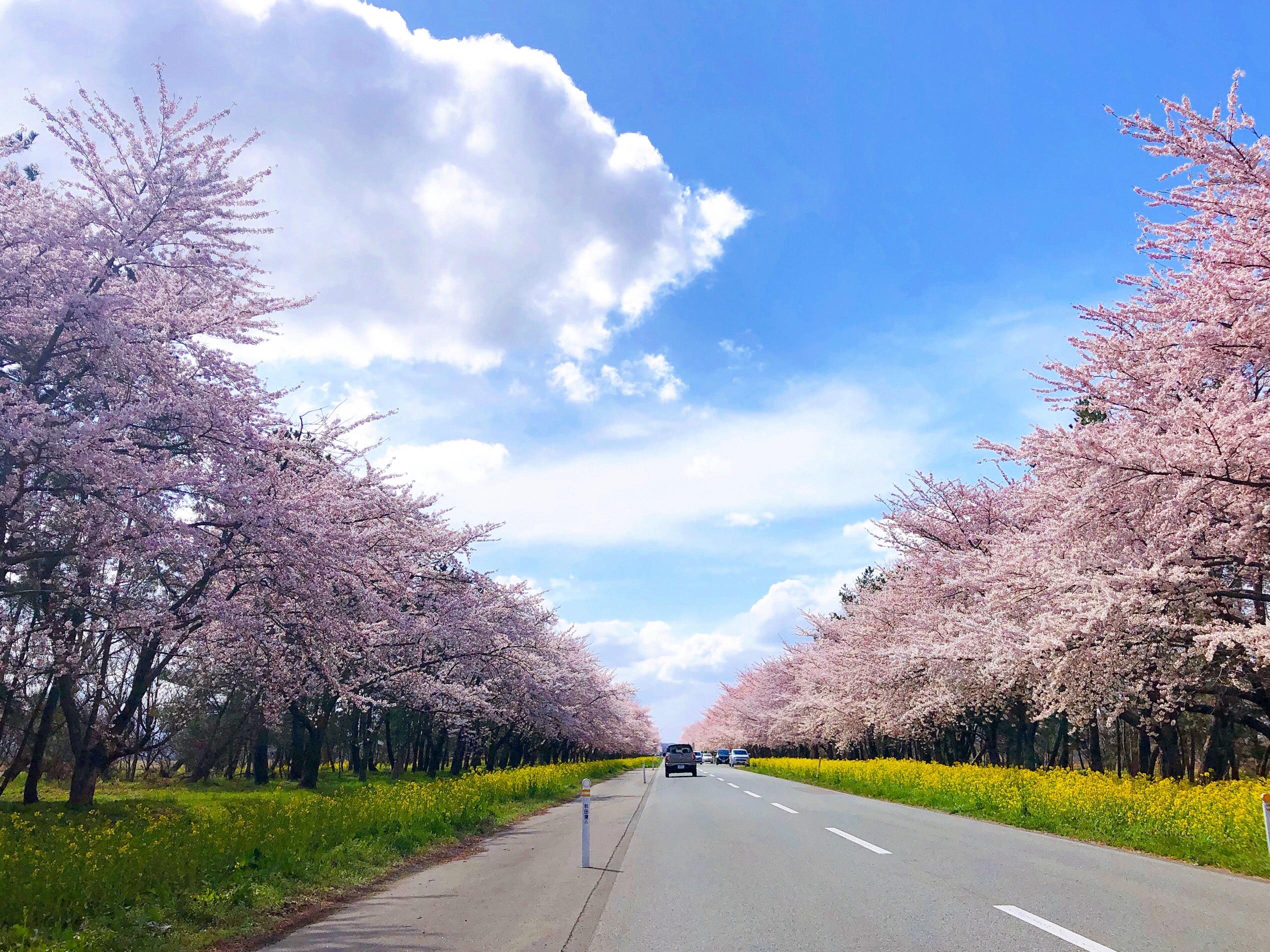 桜と菜の花ロード